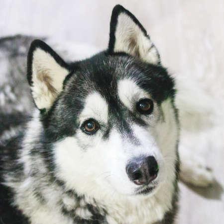 Perro adulto Husky mirando a la cámara