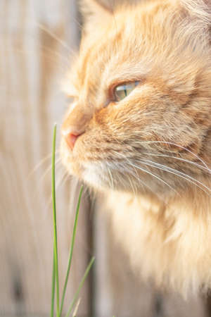 Ginger cat sniffs weed in the yard Imagens