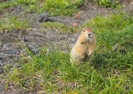 Curious American gopher with brown fur stands on his hind legs in the green grass and funny watching people