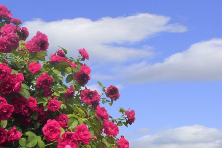 A large Bush of pink roses against a blue sky. Horizontal orientation.
