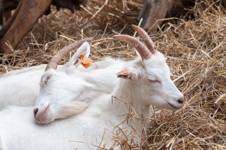 Two little white goats lying on hay, cuddling up to themselves on a farm, family goes first Фото со стока