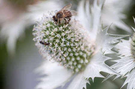 Close-up of Alpine Sea Holly with bee perching on it