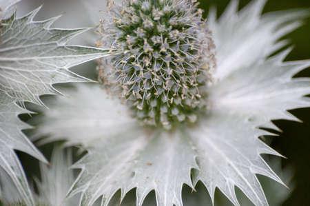 Close-up of Alpine Sea Holly