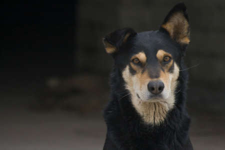 A street dog mutt strictly looks on a dark background Stock Photo