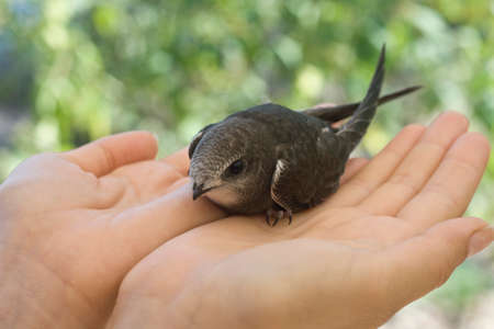 Bird black swift is sitting in the hands