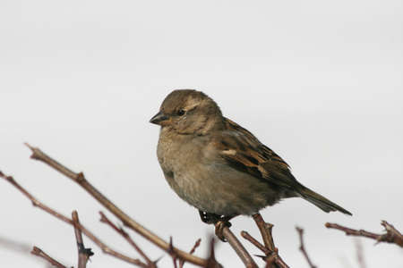 The bird Sparrow sits on a branch and looking into the distance Stock Photo