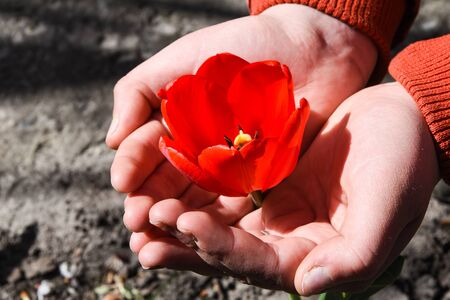 red tulip in the hands of nature, Close up worker s hand holding a red tulip in garden. Selected focus concept