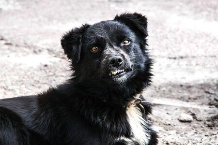 black dog, closeup portrait sad homeless abandoned black dog in shelter, teeth of dog Foto de archivo