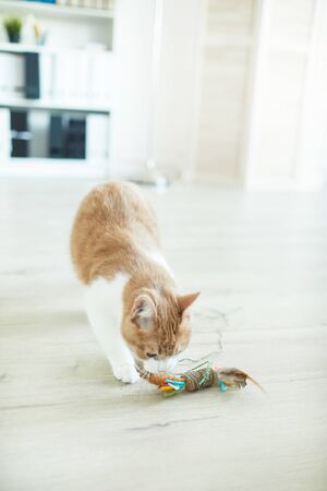 Domestic cat playing on the floor with his favourite toy at home Stockfoto