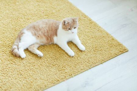 Cute domestic cat resting on the floor on the carpet at home