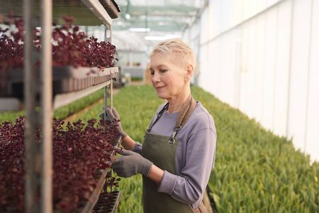 Mature woman standing near the shelves with plants and caring about them in greenhouse