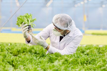 Man in protective mask and cap examining lettuce in his hands while working in greenhouse