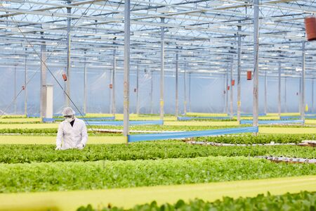 Man in protective workwear taking care about vegetables while working in greenhouse