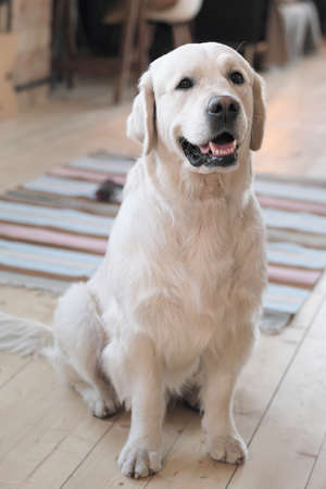 Portrait of beautiful pedigree dog looking at camera sitting on the floor at home 免版税图像