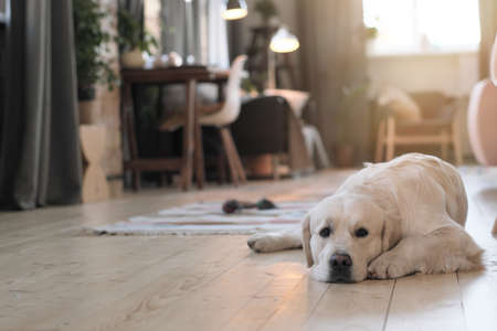 Portrait of cute dog lying on floor in the room and resting