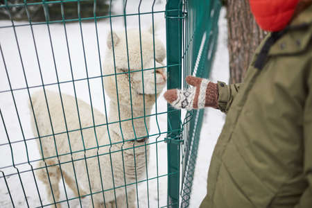 Close-up of man feeding the lama in the outdoor Zoo in winter 免版税图像