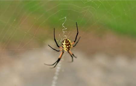 Wild Siper Web