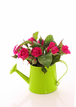 Beautiful rose flowers  in watering can isolated on white photo