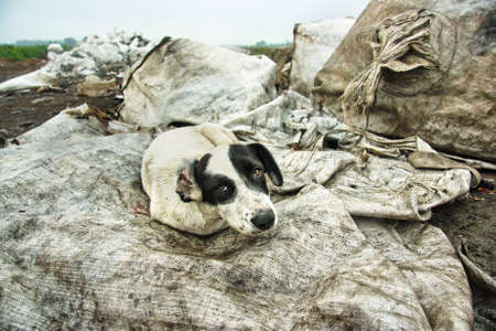 Homeless sad dog on rubbish dump. Dog looking for a host, homeless animals