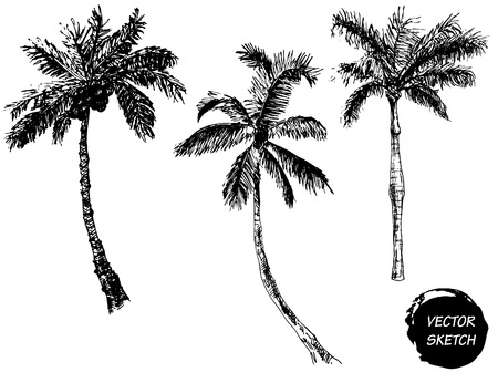 hand drawn: Vector Illustration of Palm Tree Sketch for Design, Website, Background, Banner. Hand Drawing Floral on Beach. Travel and Vacation Ink Element Template. Isolated on White
