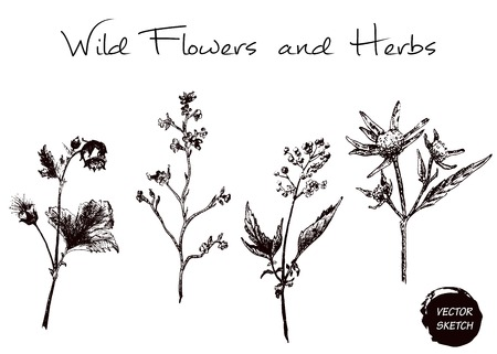 wort: Vector Illustration of Scetch Herb and Wild Flowers for Design, Website, Background, Banner. Hand Drawn Element Template Illustration