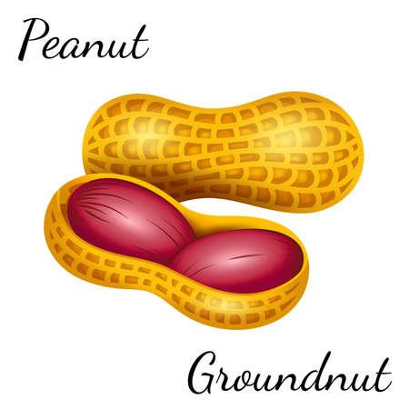 Peanut, groundnut in vector. Vector illustration of peanut in a nutshell.