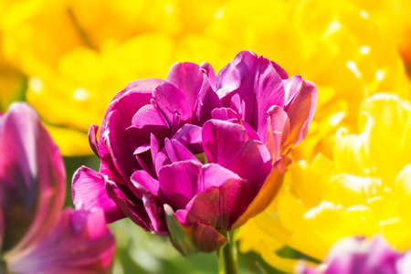 Blurred background tulip buds in soft light on Spring season Floral background spring flowers