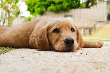 golden retriever puppy: Cute little Golden Retriever puppy Stock Photo