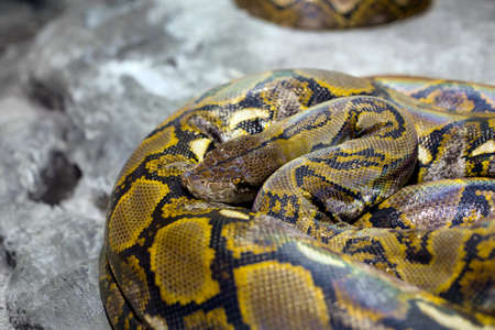 brothel: Close up of the bright, big and colorful snake Stock Photo