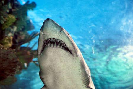 dangerous reef: Shark in the aquarium against blue background Stock Photo
