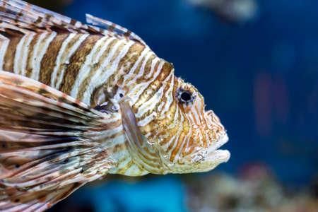 stonefish: colorful sea fish in the aquarium closeup