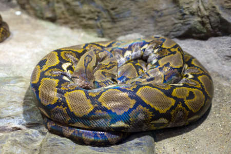 Close up of the bright, big and colorful snake Stock Photo