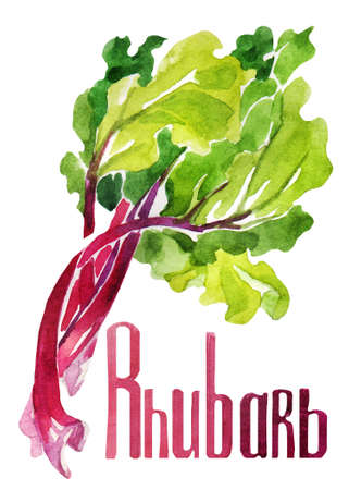 Rhubarb. Hand drawing watercolor on white background with title lettering. Can be used for decoration of cards, stickers, encyclopedias, menus and ingredients of dishes, as well for seed packaging. Stockfoto