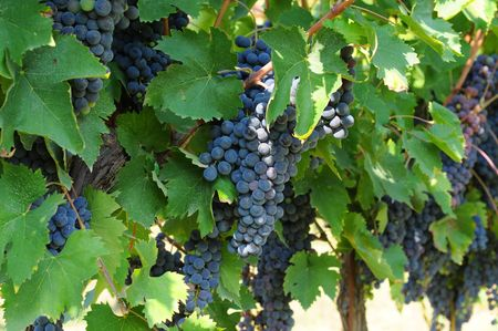 Grapevines with bunches of ripe grapes Stock Photo - 5886661