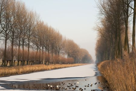 bordered: Water birds keep swimming to preserve a hole in the frozen Damse Vaart bordered by poplars, near Bruges