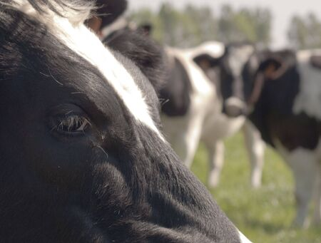 Cow's head with friends in the background, shallow dof Stock Photo - 7117610