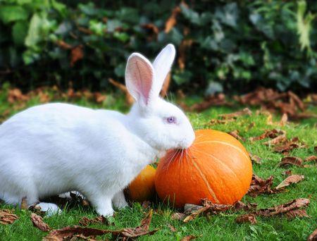 nibbling: Albino Flemish Giant Rabbit nibbling at pumpkins in the grass