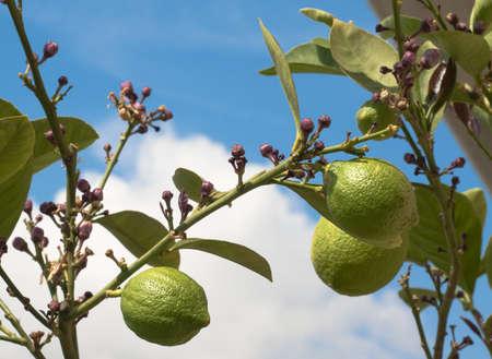 Unripe lemons on tree against blue and white sky Stock Photo - 8610668