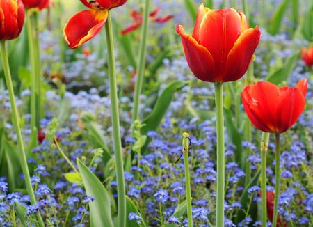 The last red and yellow tulips in a bed of forget-me-not Stock Photo - 9046903