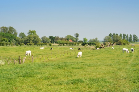 polder: Polder landscape with cows in meadow under blue sky Stock Photo