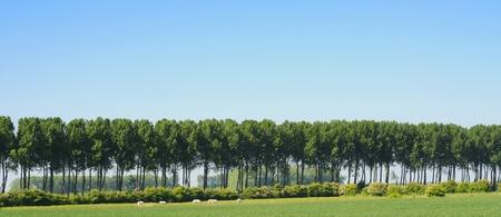 Polder landscape with cows under blue sky