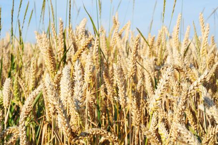 Field of ripe wheat in summertime, nature background, shallow dof Stock Photo - 10819807