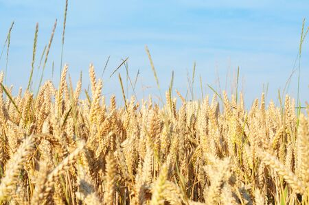 Field of ripe wheat in summertime, nature background, shallow dof Stock Photo - 10819805