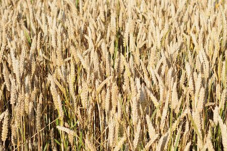 Field of ripe wheat in summertime, nature background, shallow dof Stock Photo - 10819808