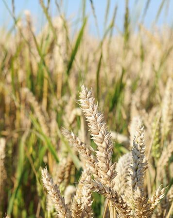 Field of ripe wheat in summertime, nature background, shallow dof Stock Photo - 10819802