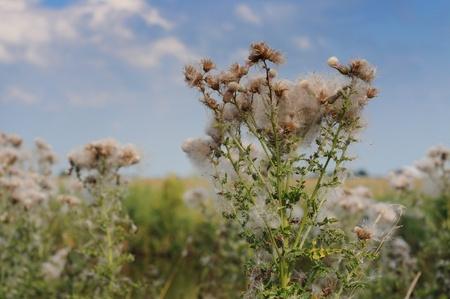 seeding: Fuzzy seeding thistle, weeds, shallow dof