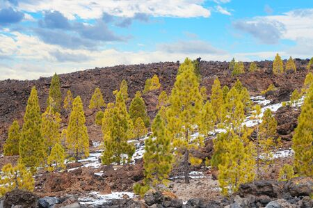 Pine trees, volcanic stone and eternal snow in El Teide National Park, Tenerife, Canary Islands