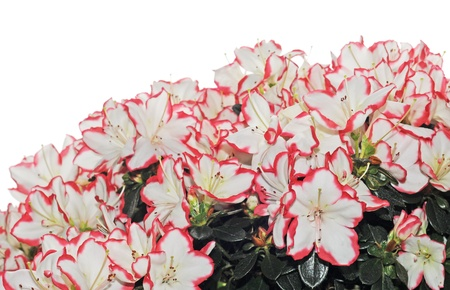 White and red azalea on white background Stock Photo - 12028628