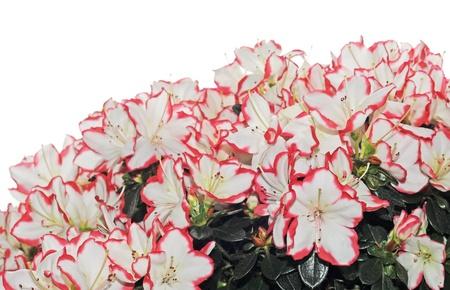 White and red azalea on white background