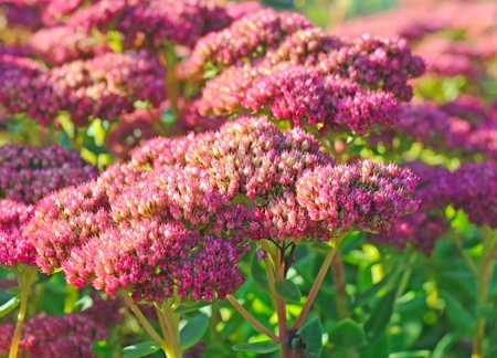 Purple hylotelephium or sedum telephium, shallow depth of field Stock Photo - 13071437